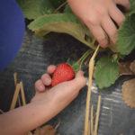 Somis-strawberryPYO