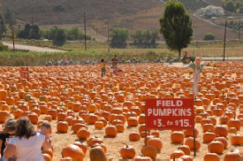 Pumpkin Field Underwood Farms