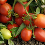 roma_tomatoes
