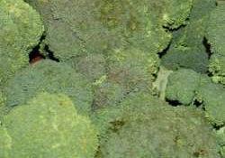 vbroccoli